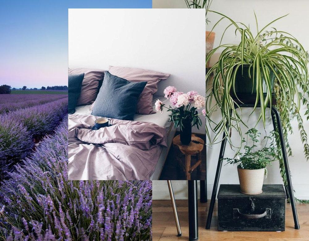 Lavender - Spider plant