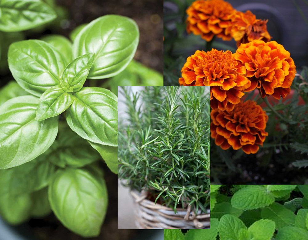 Basil - Lavender - Marigold - Peppermint