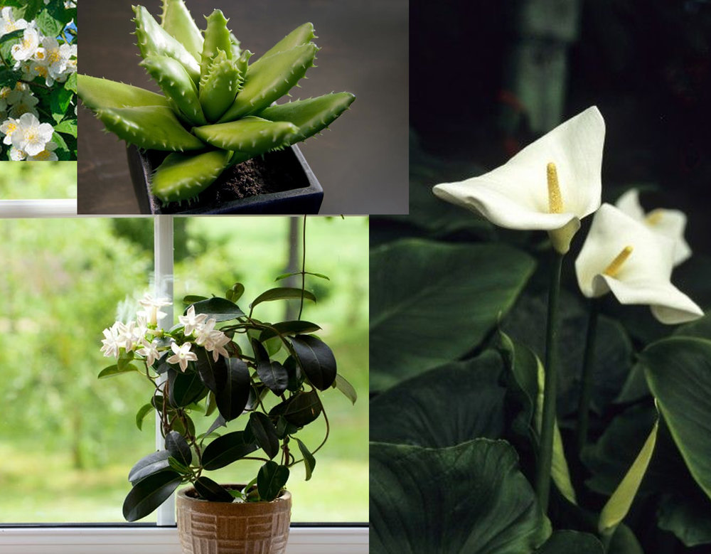 Jasmine - Peace Lily - Aloe Vera