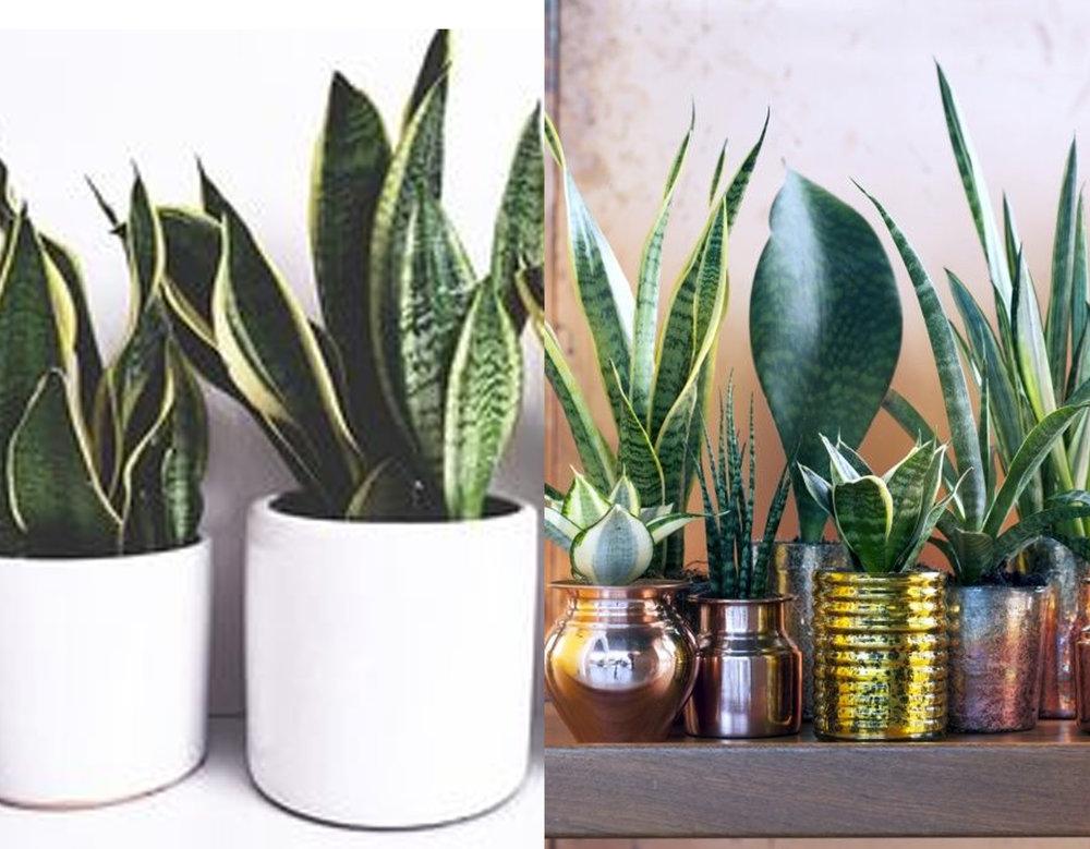 Snake Plant or Sansivierias