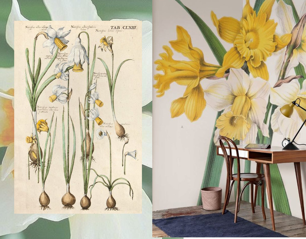 botanical drawing  The Antiquarium  - Narcissus Maximus mural  Surface View