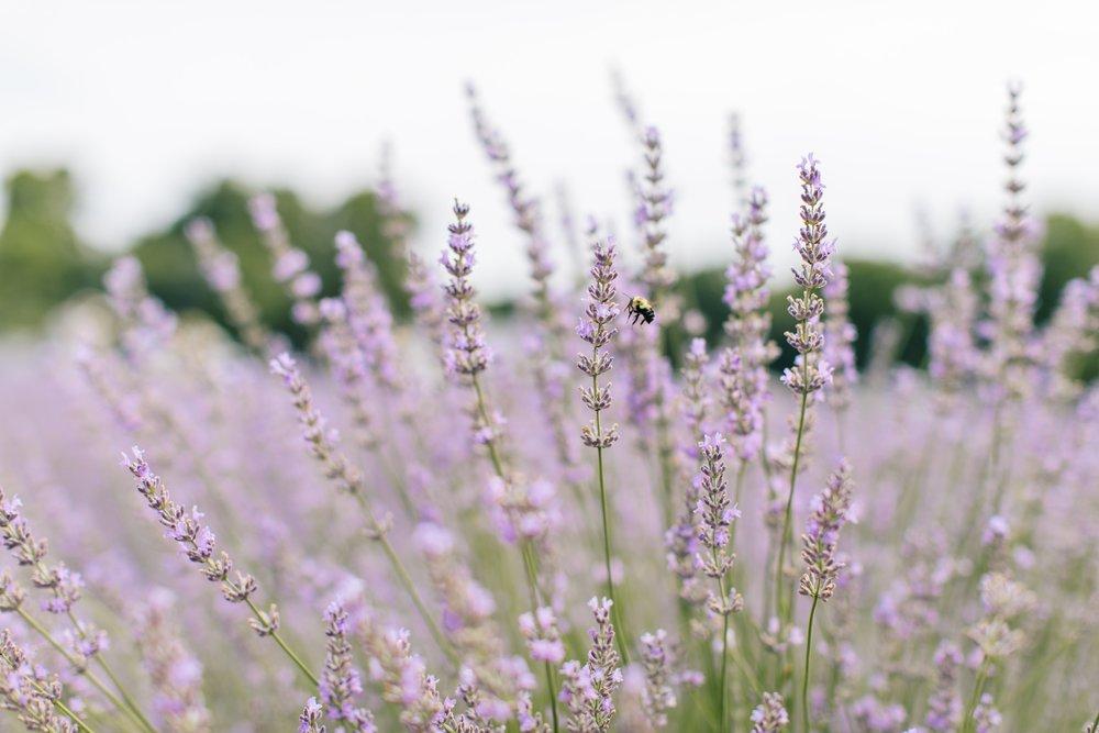 lavenderbythebay-9.JPG