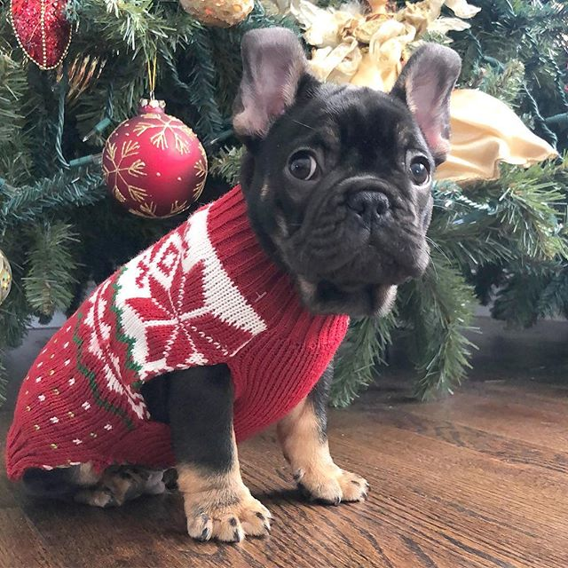 Someone's ready for Christmas....Meet Mootz, the newest member of the Bolster team, home with @beeztotheknees just in time for the holidays!! #happyholidays