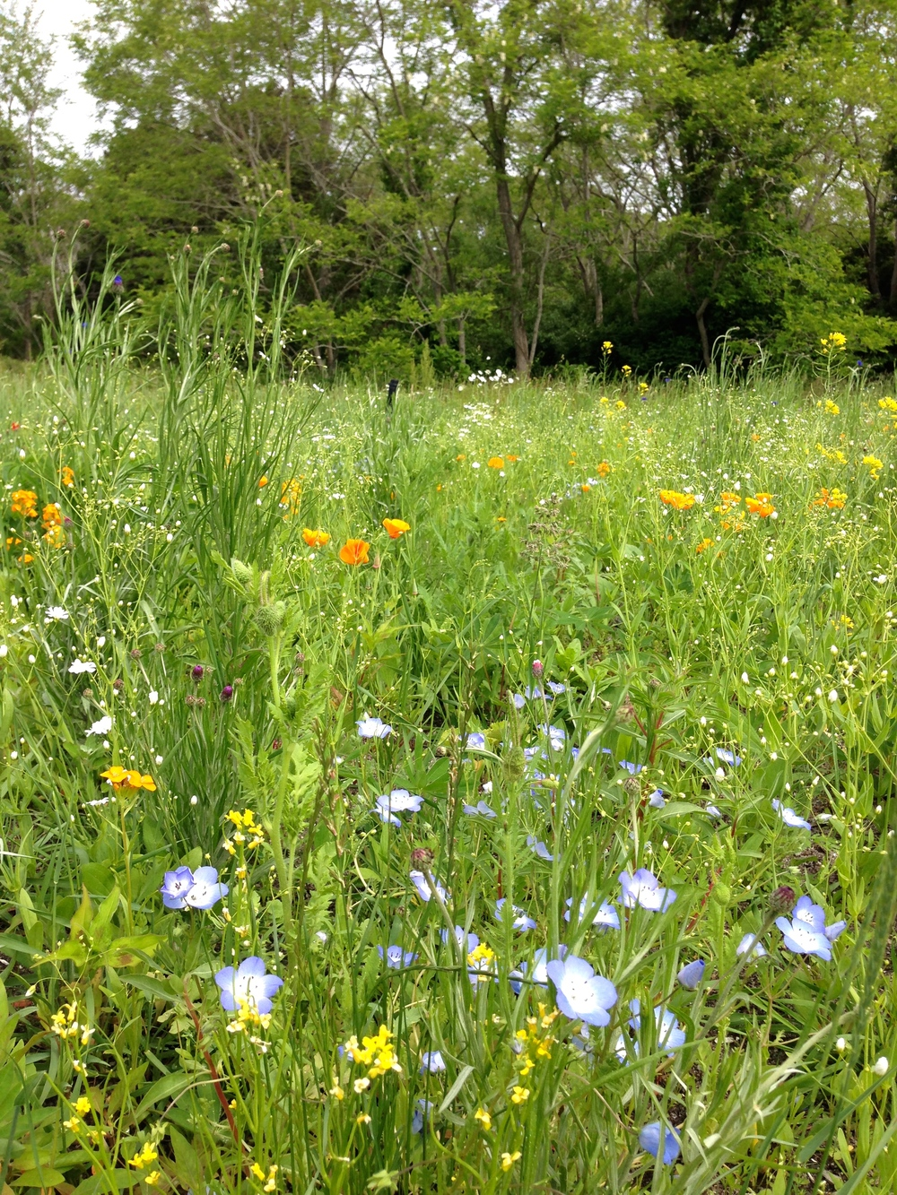 Eastham WILDFLOWER meadow, slice-seeded and maintained by Bayberry Landscaping.