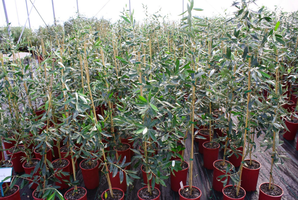 Olive trees at the Boundary Bend Nursery.