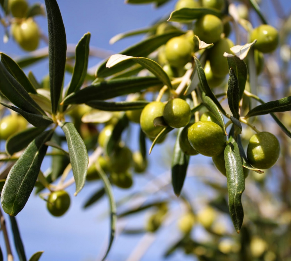 Exquisite UP Certified Extra Virgin Olive Oils are made from these gorgeous olives.