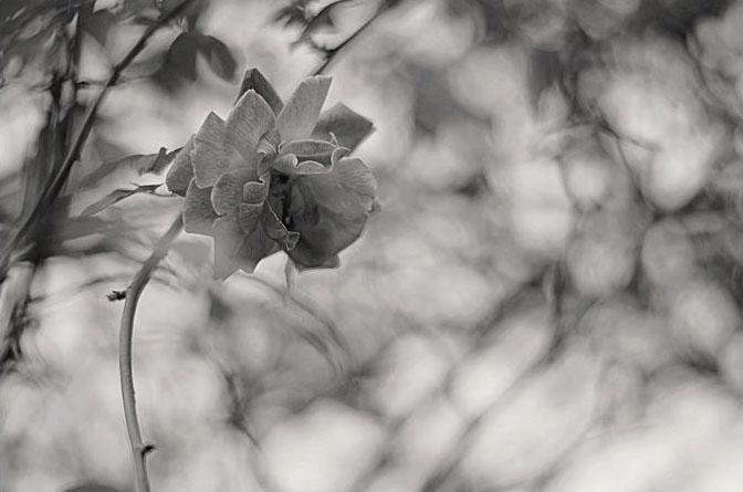 blackwhiteflower1.jpg
