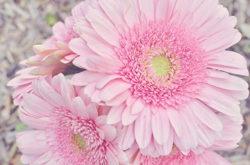 PinkGerberFlowers2-2.jpg