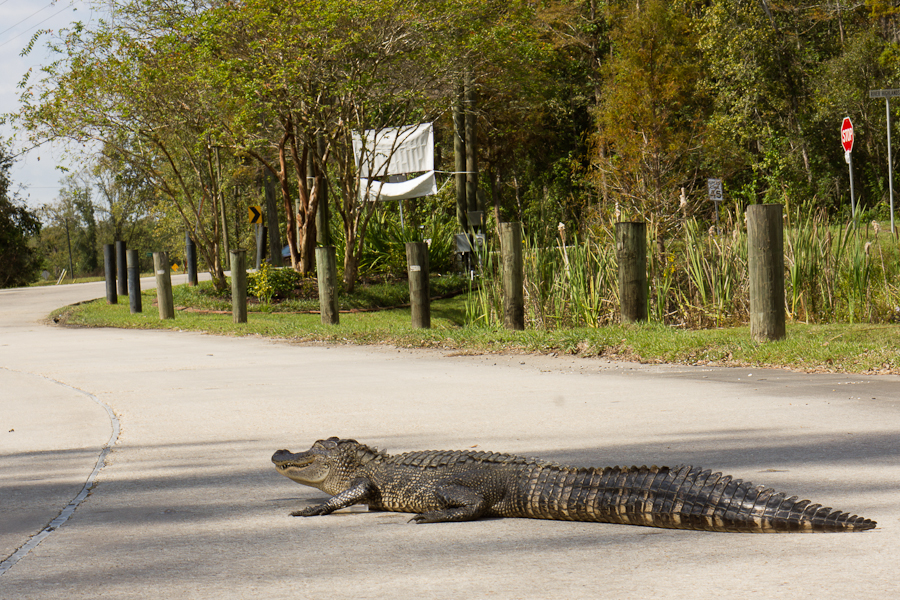 bobozeman-gator.jpg