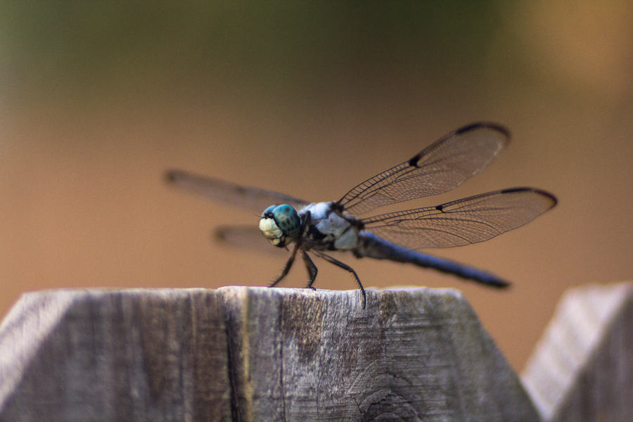 bobozeman-dragonfly.jpg