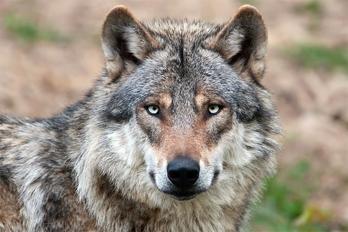 This wolf is not impressed with the OIPA's fear mongering