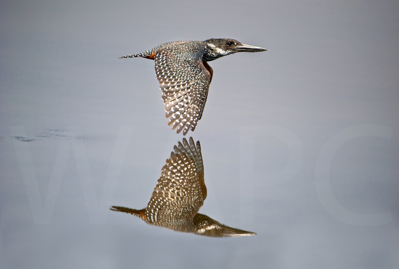 """Giant King Fisher in Flight"" by Russell Price - C"