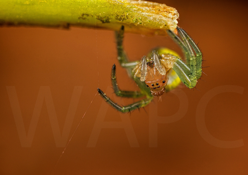 Cucumber Spider by Ed Phillips - C