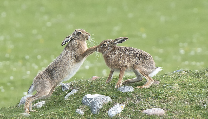 Boxing Hares by Audrey Price - HC