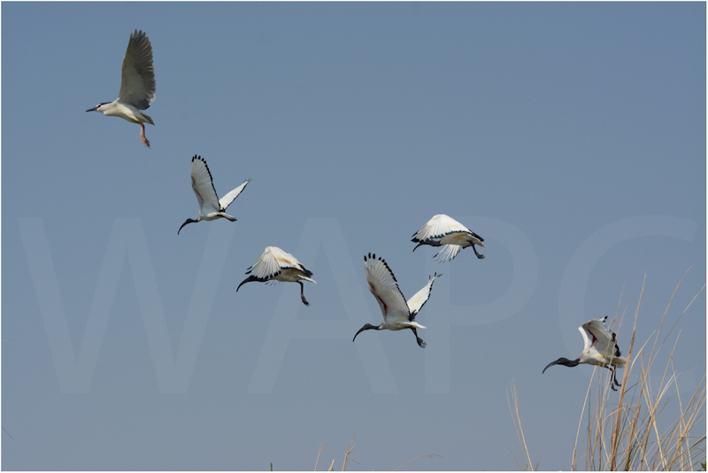 Ibis in Flight by Alan Lees - C