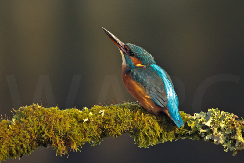 Kingfisher by Peter Hodgkison - C
