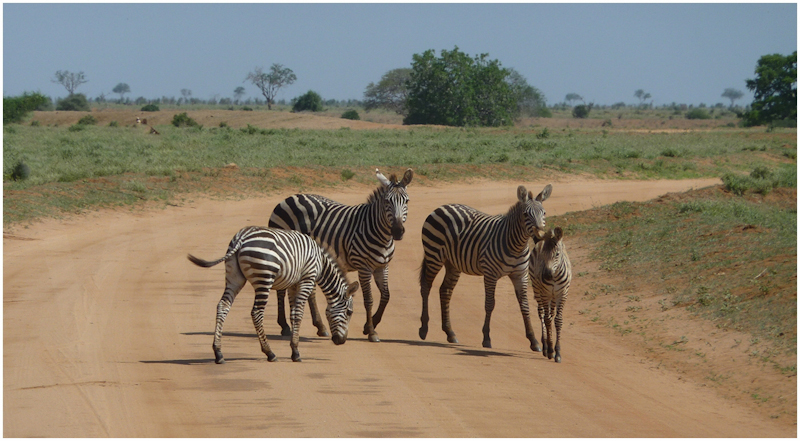Zebra Crossing by David Prestwood - HC