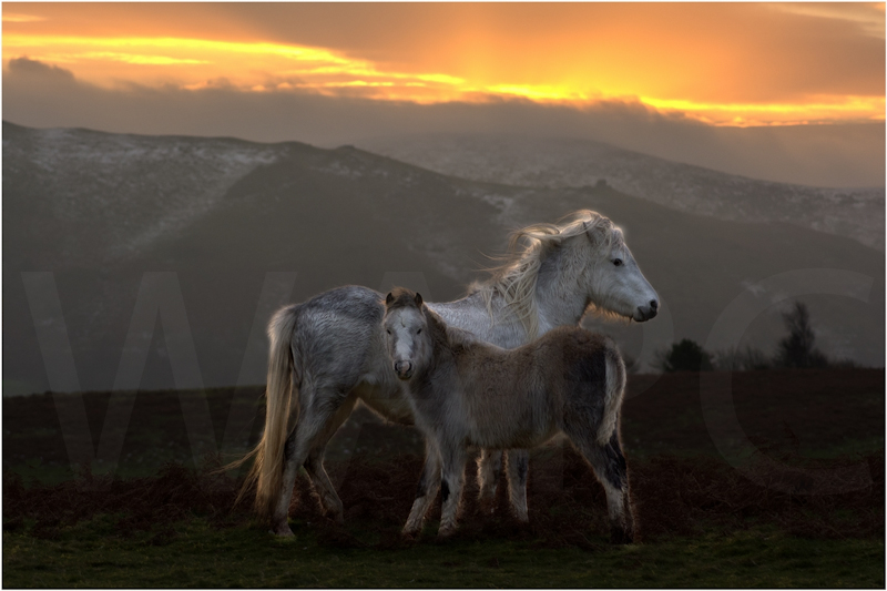 Long Mynd Ponies by Tim Growcott - 3rd