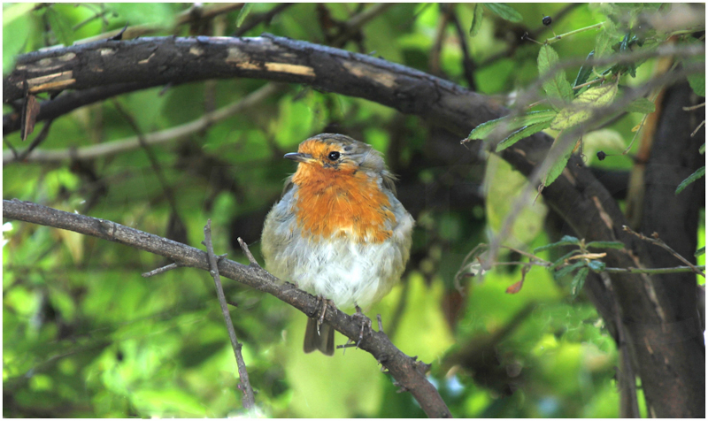 Robin by David Prestwood - C