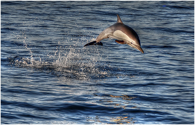 Baja Dolphin
