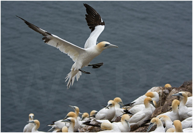 Gannets at Bass Rock