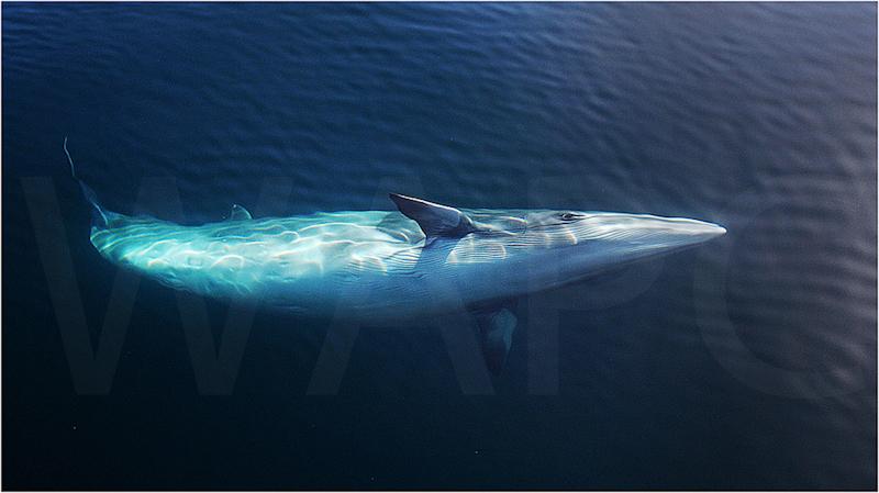 Minke Whale - Baja