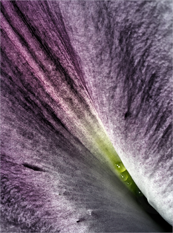 Lilly Pearls 2 by Calvin Downes-Commended