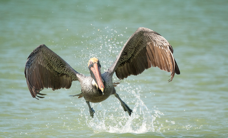 Brown Pelican Taking Off by Russell Price-1st (PDI)