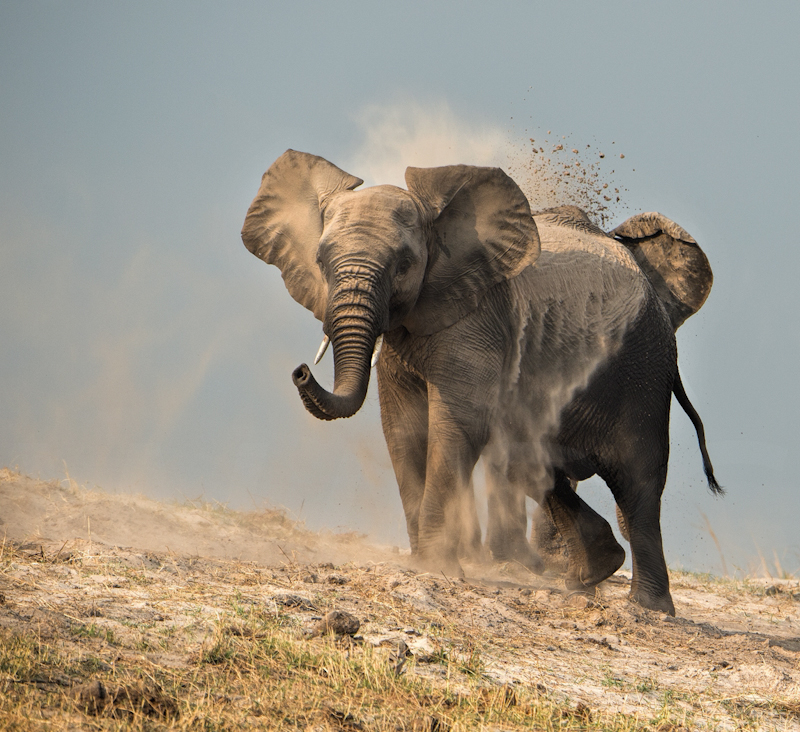 Dustbathing Elephants by Audrey Price-3rd (PDI)