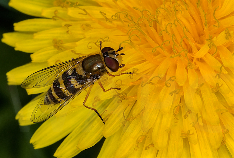 Hoverfly on Dandelion Syrphus Ribesii by Norman O'Neill-2nd (PDI)