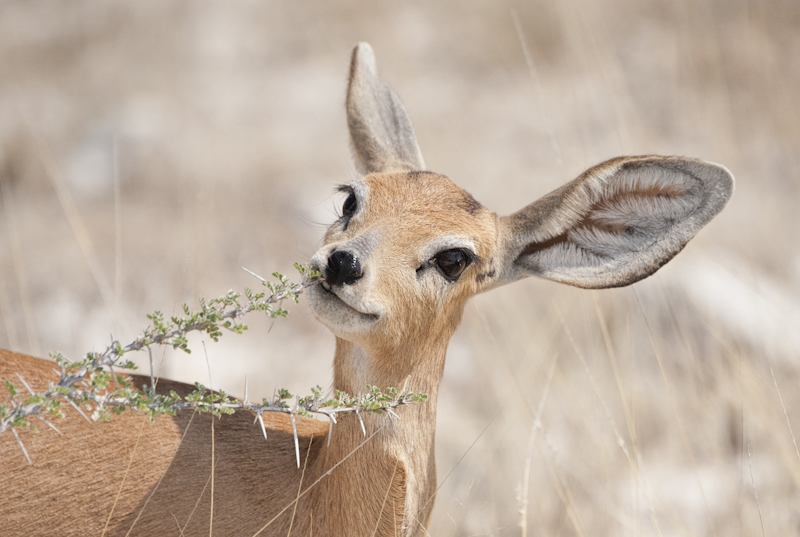 Steenbok Feeding on Acacia by Russell Price - C