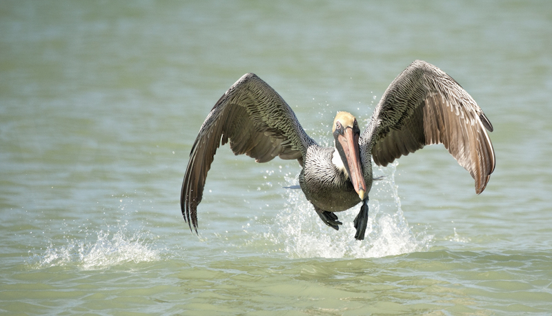 Pelican Taking Flight by Russell Price - C