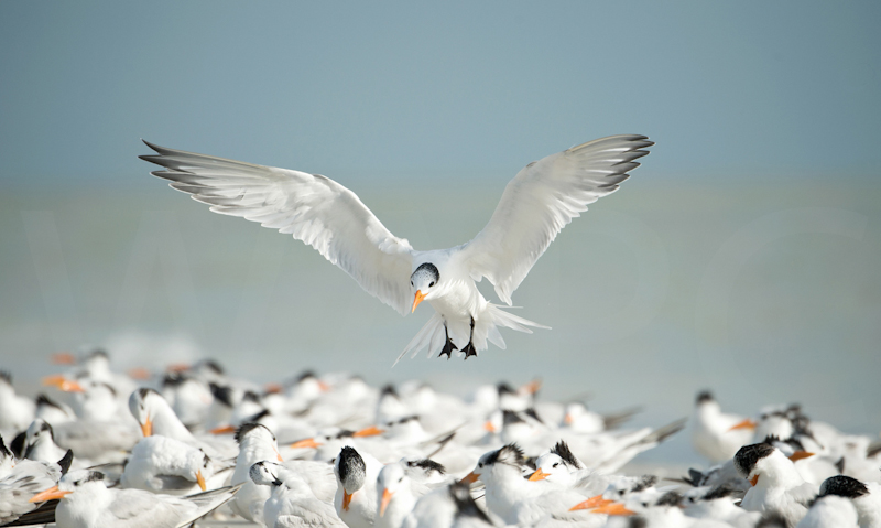 Royal Tern landing by Audrey Price