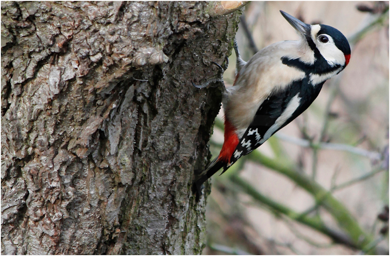 Great Spotted Woodpecker by Dave Prestwood