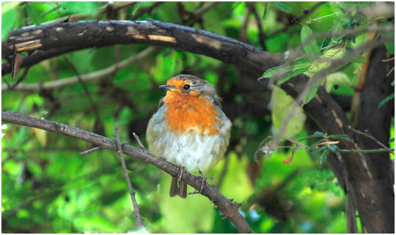 Robin by Dave Prestwood