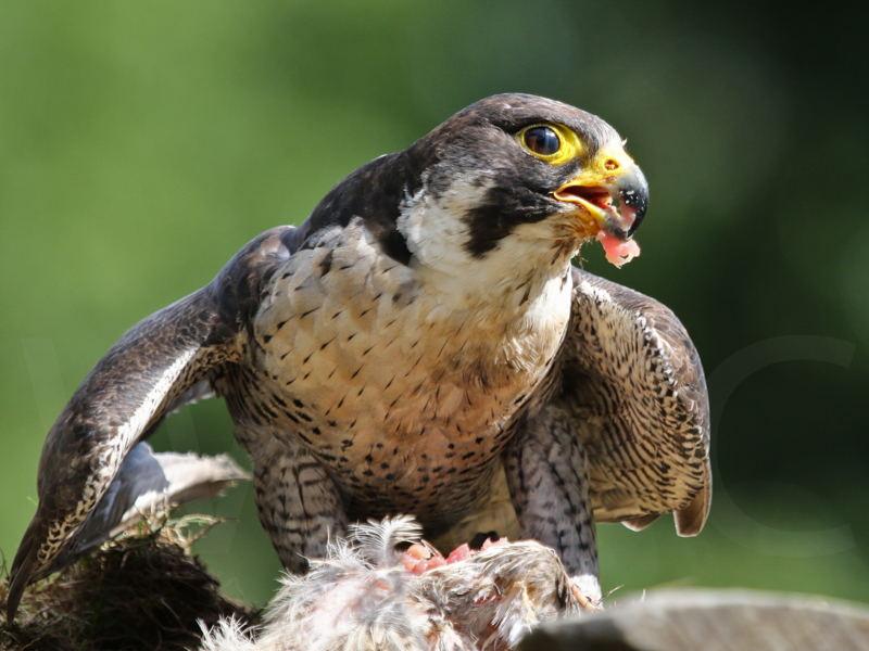Peregrine Falcon with Prey by Peter Hodgkison - C (Int)