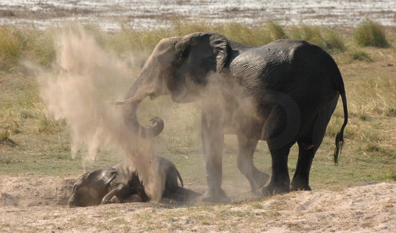 Elephant & Baby Dusting