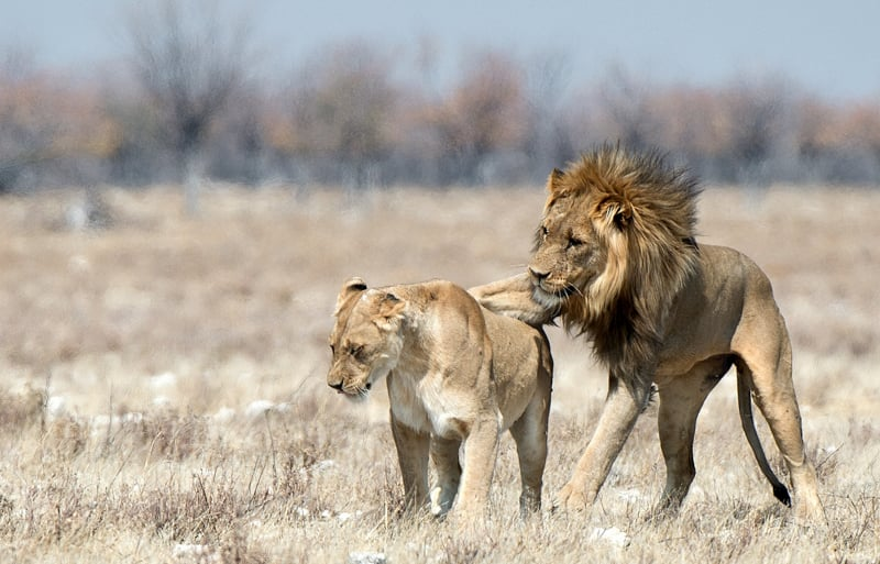 Mating Lions by Audrey Price - C (adv)