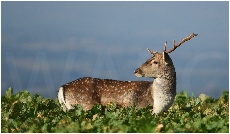 Fallow Deer Stag in Turnip Field by Alan Lees - C (Adv)
