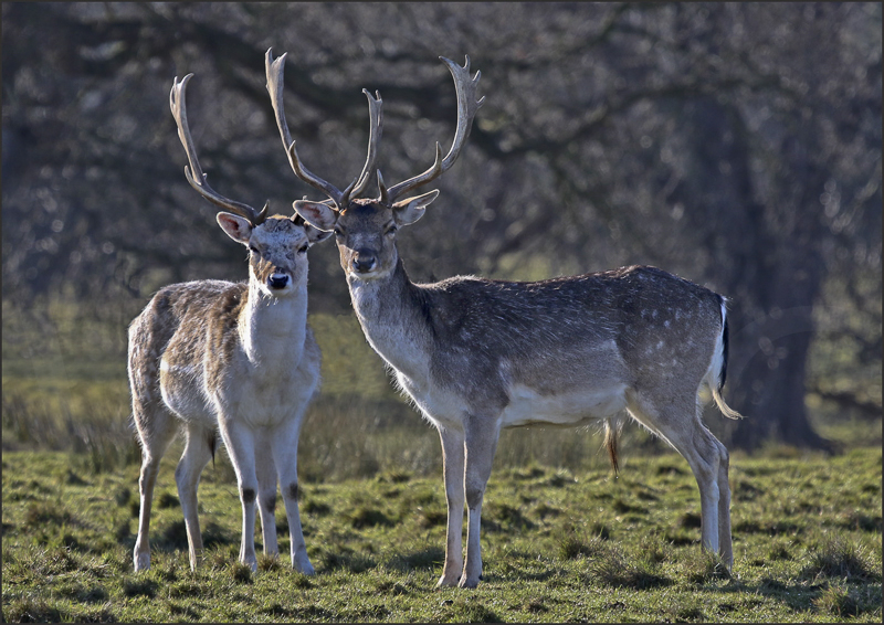 Fallow Bucks by Peter Hodgkison - HC (Int)