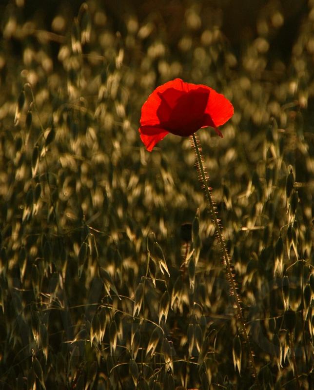 Poppy by Rachel Owen - C (Int)