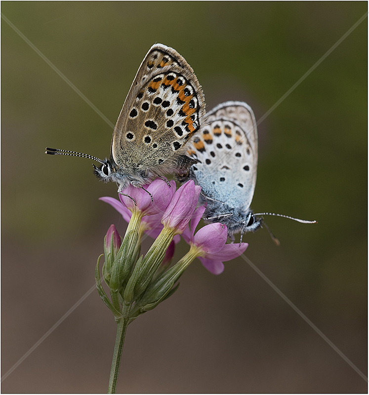 Silver Studded Blues on Campion by Alan Lees - 3rd (Adv)