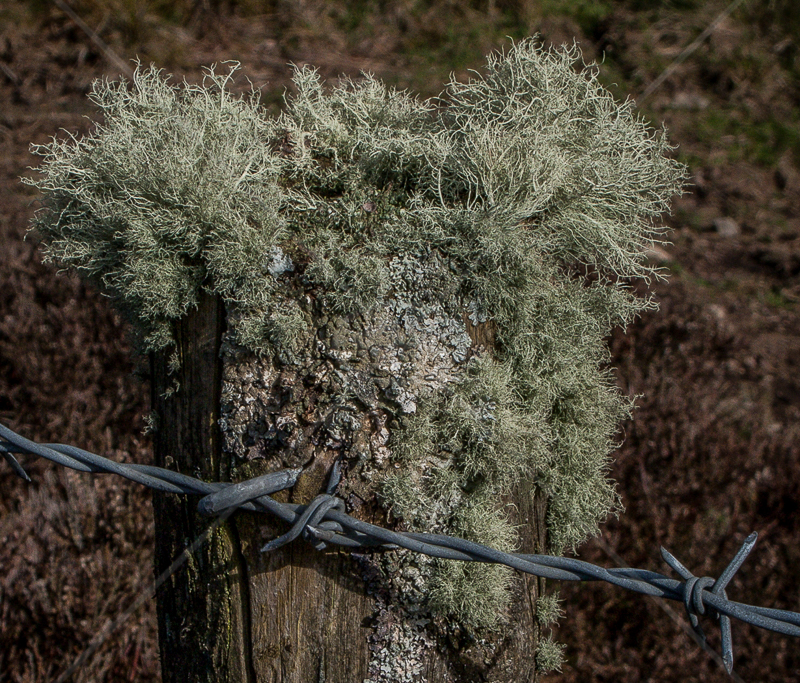 Fruticose & Foliose Lichen Colonising Fence Post by Peter Howsam - C (PRINT)