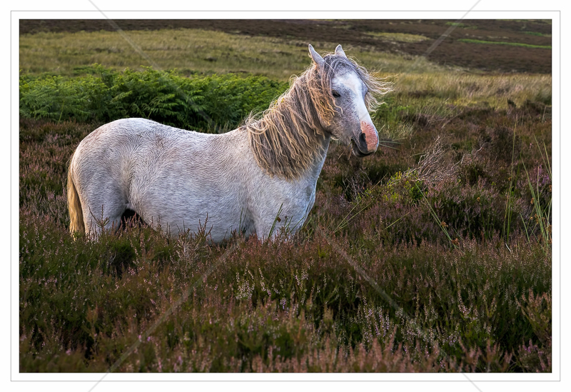 Long Mynd Pony by Calvin Downes - C (PRINT)