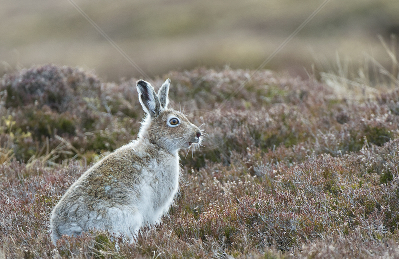 Mountain Hare in Transition by Audrey Price - 3rd (PRINT)
