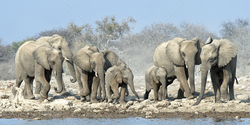 Rush for the Waterhole by Audrey Price - 1st (PRINT)