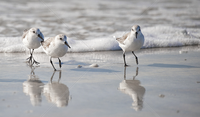 Sanderlings by Russell Price - C (PRINT)