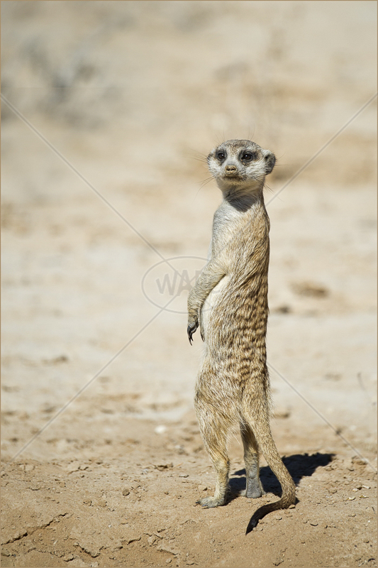 Suricate on Sentry Duty by Russell Price - C (PRINT)