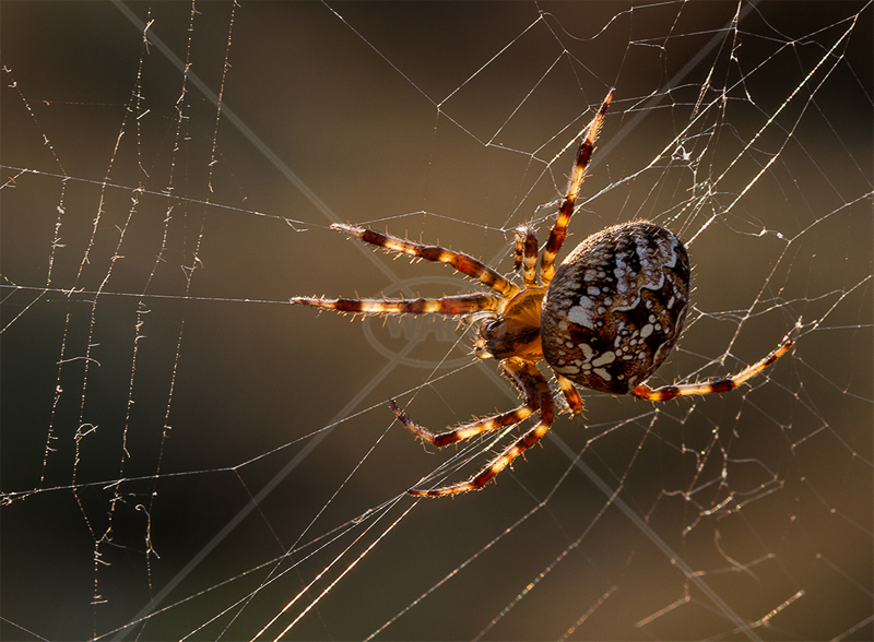 Garden Spider by Norman O'Neill - HC (PDI)