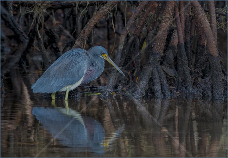 Mangrove Heron by Audrey Price - C (PDI)